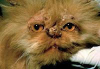 Persų katė