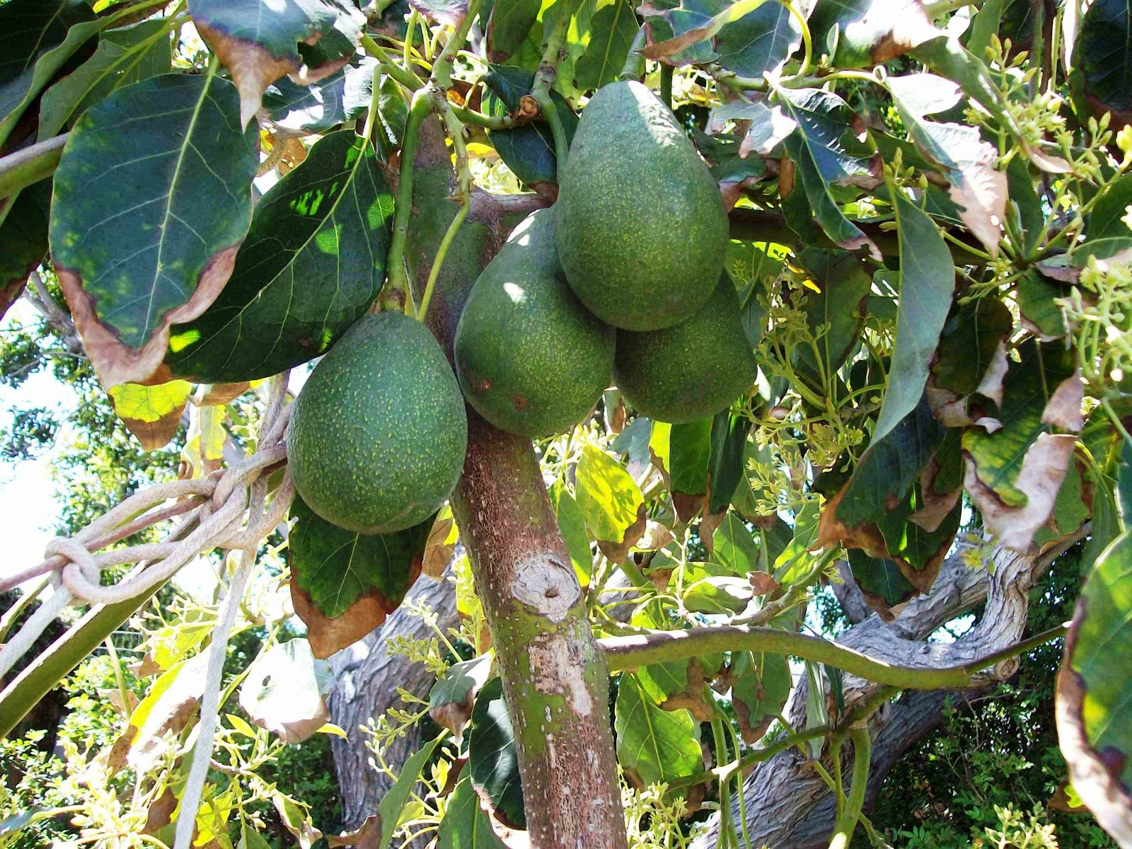 produce clerk the produce clerks handbook by rick chong how to handle avocados