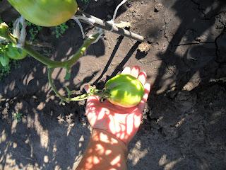 Ранние помидоры после высадки в грунт, начало июня