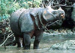 Javan+Rhino