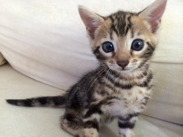 A Bengal Cats Personality Harimau Bengal Cats of...