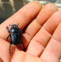 Escarabajo pelotero b