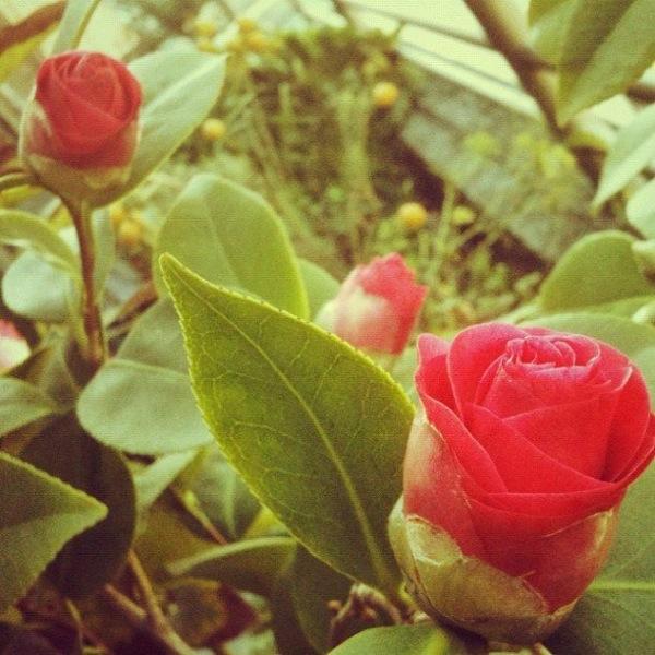 Roses Pablo Lara H
