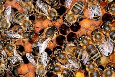 Rối loạn sụt giảm bầy đàn ở ong (CCD)