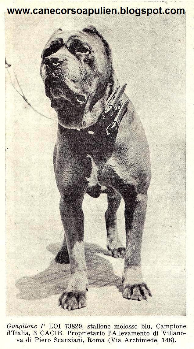 Dog Funcional Il Cane Corso O Cane Corso Italiano