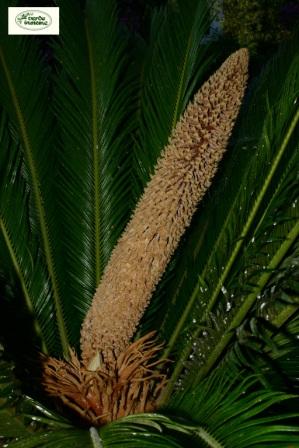 Jacaranda beb un luogo di vacanza per appassionati del verde for Pianta cycas