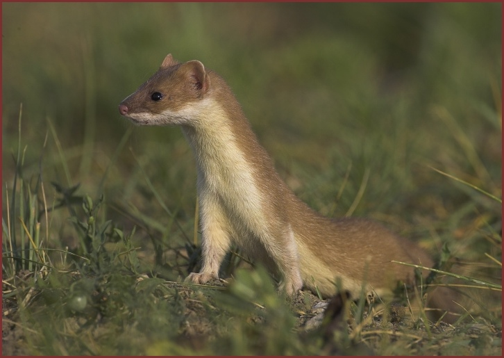 Weasel A Cute Animal Wildlife The Wildlife