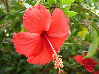 Gudhal Flower