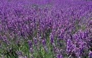 (^_^) Lavender