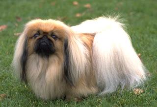 Anjing Pekingese Cute
