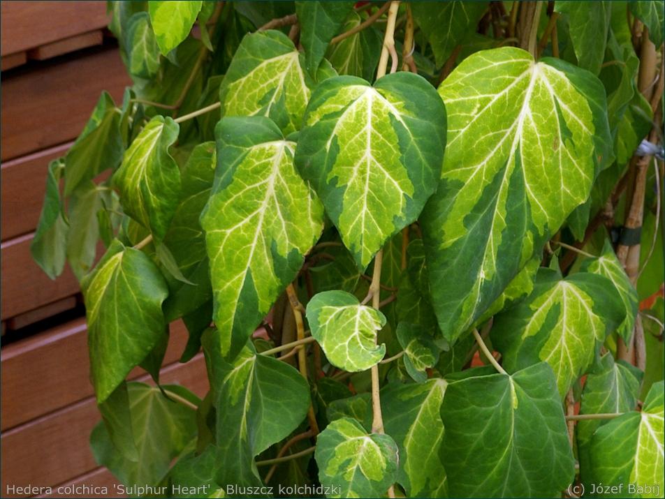 Hedera colchica 'Sulphur Heart' - Bluszcz kolchidzki 'Sulphur Heart' liście