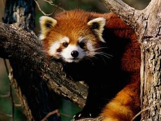 ملف كامل عن اجمل واروع الصور للحيوانات  المفترسة   حيوانات الغابة  1