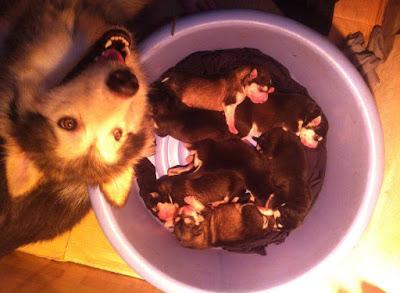 Các phản ứng sau khi tiêm vaccine ở chó