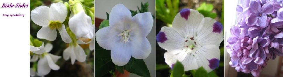 Biało-fiolet