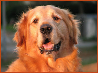 Golden retriever dogs Wallpapers