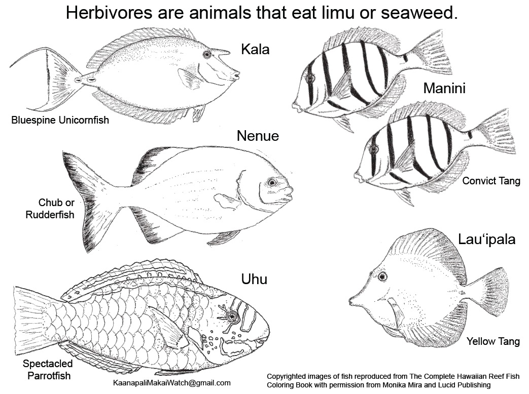 Maui Ocean Bloggers: Herbivore and KHFMA Coloring Page Available ...
