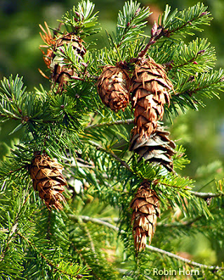 Cones on Fir Tree