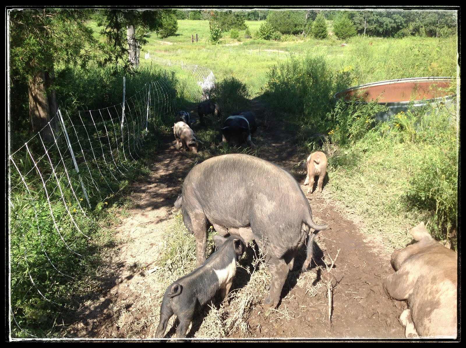 Hogs in Their New Home and Loving It!!