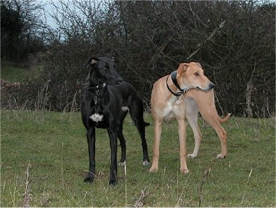 Extreme Dog Breeds Lurcher