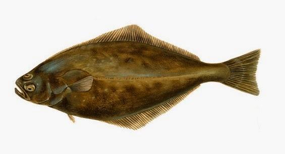 Ikan Halibut atau Ikan Sebelah