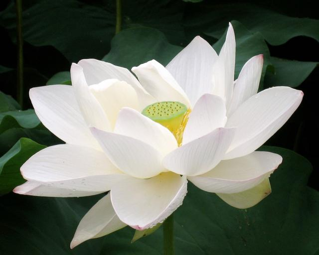 Flowers lover blog lotus flowers legends the lotus flower appeared in legends originating from ancient egypt it played an important part in ancient egyptian religion the pure white lotus flower mightylinksfo