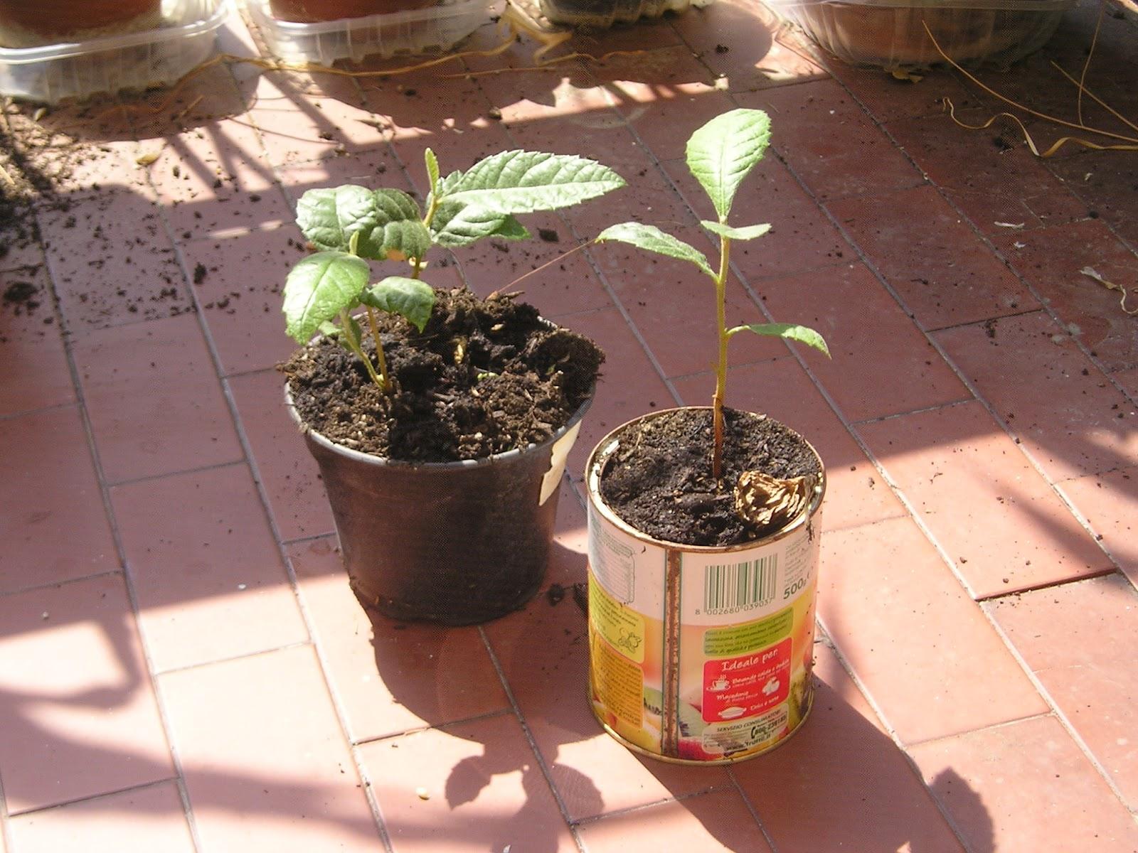 Esperimenti estivi mais patate nespolo e altro for Quando si seminano le patate