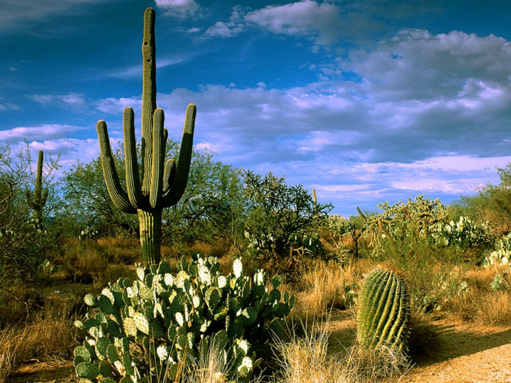 deserts cactus - photo #3