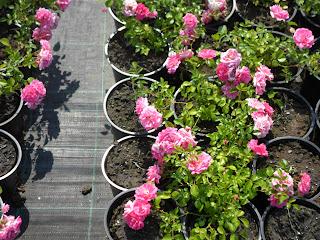 Creare giardini le nostre rose tappezzanti paesaggistiche for Rose tappezzanti