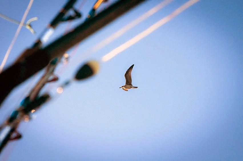 Gaviota de audouin acompaña a la embarcación de pesca deportiva
