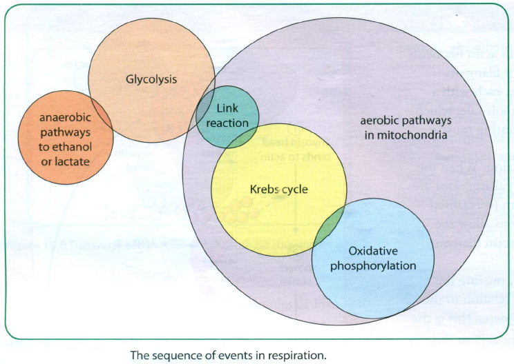 87 respiration glycolysis biology notes for a level glycolysis in the cytoplasm cytosol of the cell the link reaction in the matrix of a mitochondrion the krebs cycle in the matrix of a mitochondrion ccuart Gallery