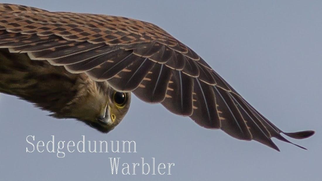 Sedgedunum Warbler