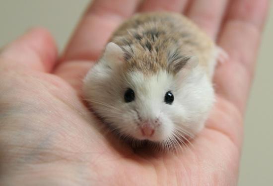 Roborovski dwarf hamsters full view labels dwarf hamsters