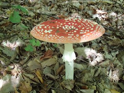 muchomor czerwony, Amanita muscaria