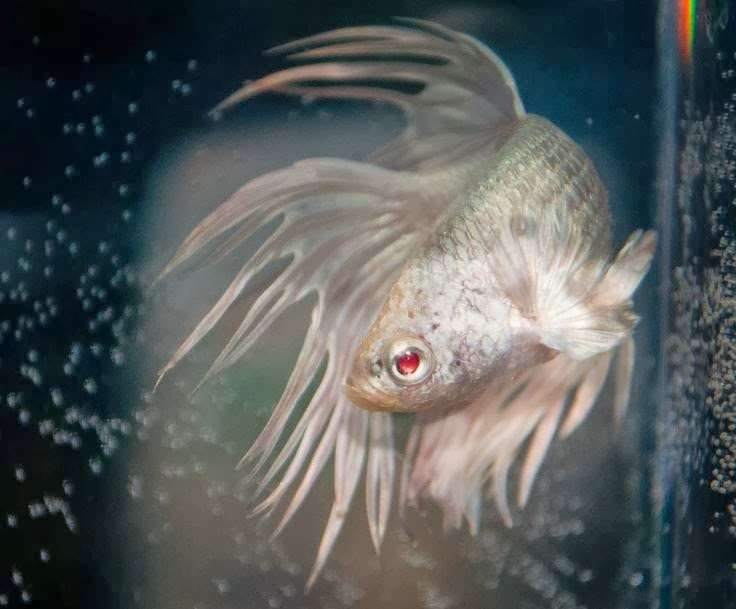 All about betta fish red eye crowntail betta fish for All about betta fish