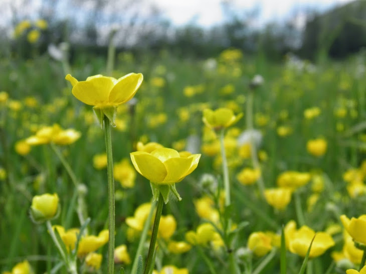 Meadow yellow