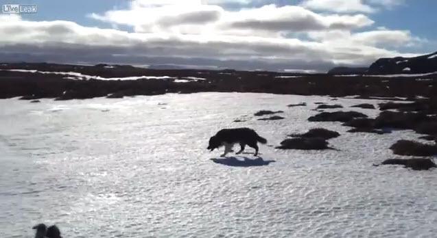 Un perro de raza collie ayuda a rescatar a unas ovejas con vida tras 19 días bajo la nieve