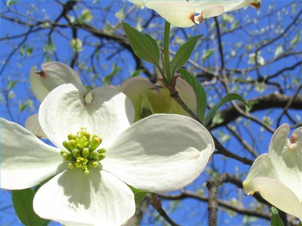 Dogwood Tree Facts For Kids