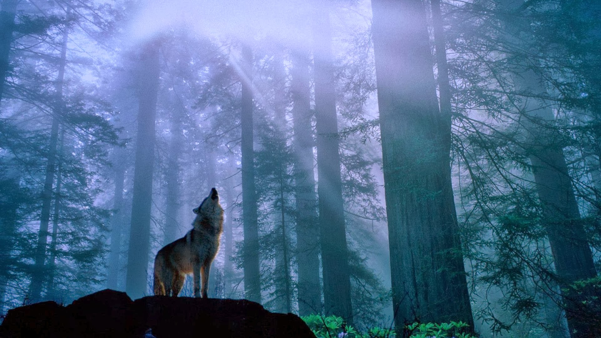 Group Of Howling Wolf Wallpaper 23380