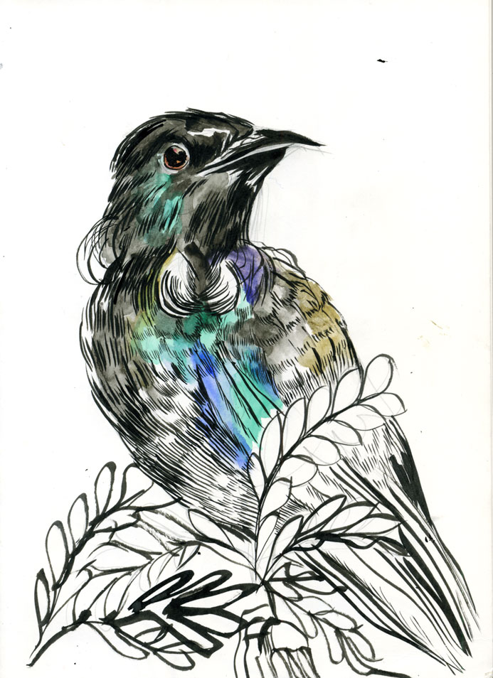mc drawn tui bird sketch watercolour ink and brush. Black Bedroom Furniture Sets. Home Design Ideas