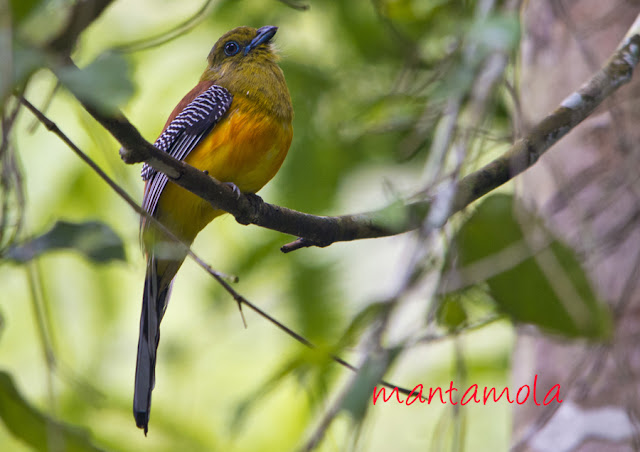 Orange Breasted Trogon
