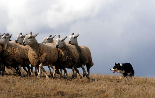 I Admit That Some Days In My Ministry Felt More Like A Sheep Dog While Shepherds Seem To Be This Idyllic Symbol Of Peacefulness Confidence And