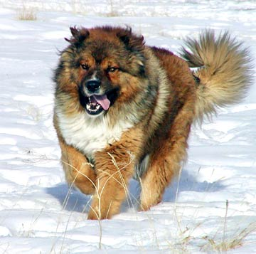Caucasian Mountain Dog has existed since ancient times, like many