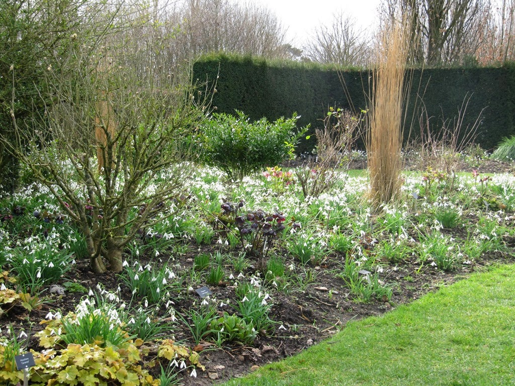 Perfect Snowdrops En Masse At Broadview Gardens