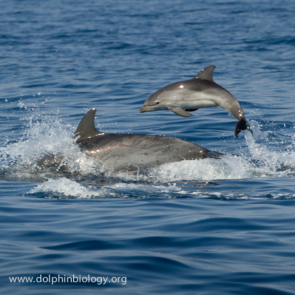Dolphin Biology and Conservation: July 2013
