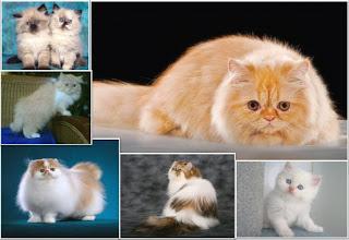 jenis kucing,hewan peliharan