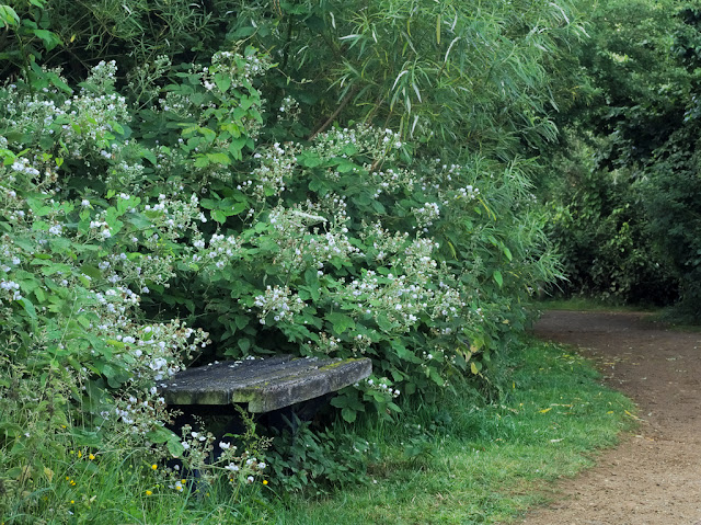 Bench  by path surrounded by flowering brambles