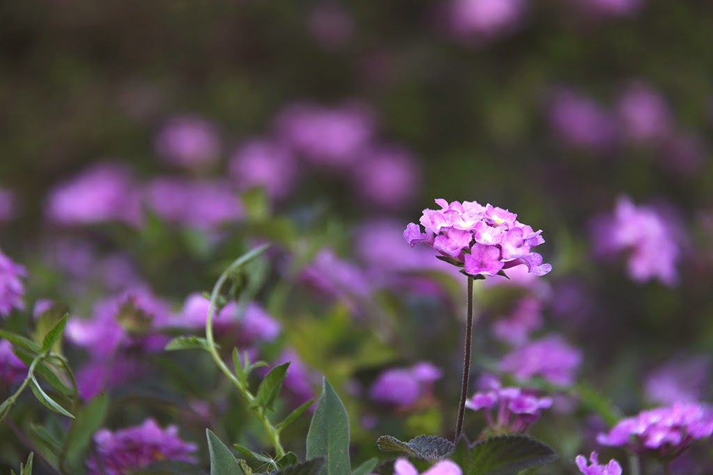 flor lila primavera