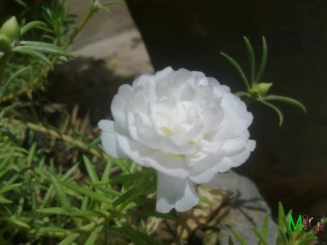 Moss Rose, White Moss Rose, Portaluca Grandiflora