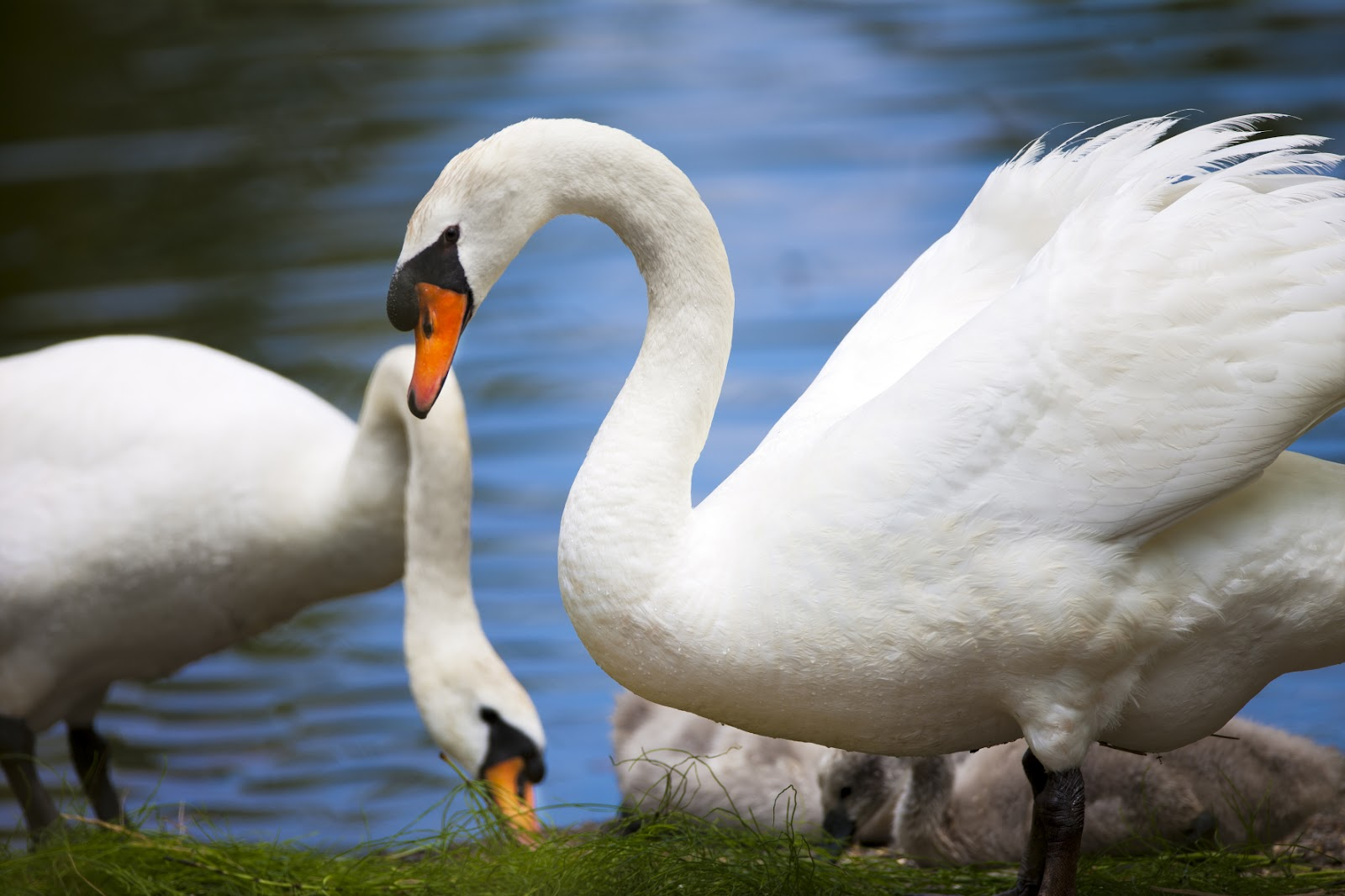 A swan pair eats together by the side of a small pond