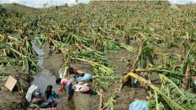Bananas correm risco de extinção